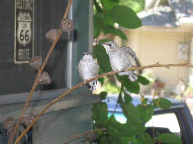 Humming bird babies 3
